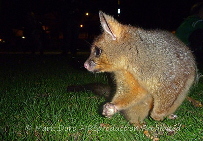 Brush tailed Possum, Williamstown, Victoria