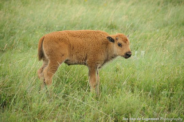 Bison calf in the rain