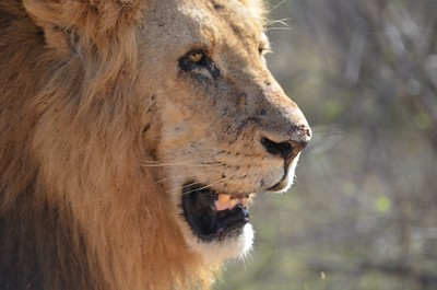 Lion encounter near Skukuza rest camp. ……………….Copyright © - Photo by Barry Jucha