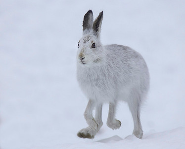 Mountain hare running