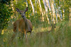 Whitetail Deer-2086