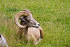 Big Horn Sheep- Captive