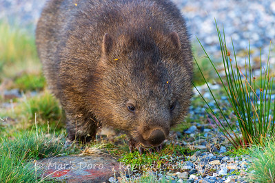 Wombat, Cradle Mountain National Park, Tasmania