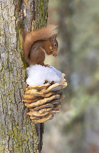 Red squirrel on bracket fungus