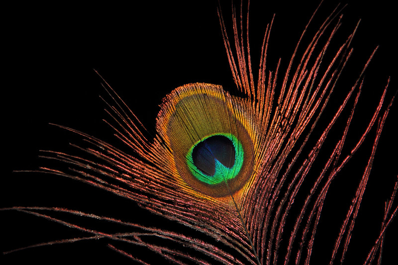 Eye of Peacock Feather Isolated on black