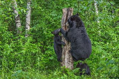 USA, Minnesota, Sandstone, Minnesota Wildlife Connection. Black bear cub with mother climbing tree trunk.