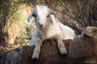 Indian Cliffs Ranch : Goat