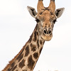 <strong><center><b>Giraffe Portrait II<br> The Giraffe is the tallest living terrestrial animal and the largest ruminant.  It stands 5–6 m (16–20 ft) tall and has an average weight of 1,600 kg (3,500 lb) for males and 830 kg (1,830 lb) for females.