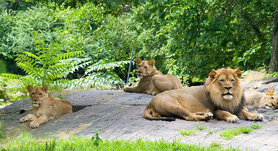 Lions at the Bronx Zoo (July 2011)