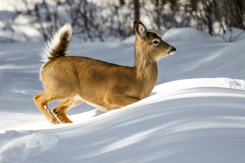 Brown Buck Fawn On the Run 1
