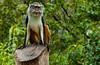 100130 - 0960 Patas Monkey