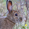 Snowshoe Hare  2