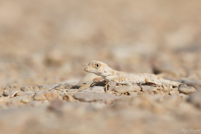 Carter's Semaphore Gecko