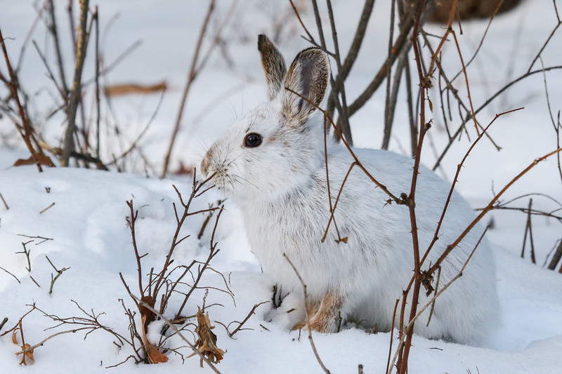 Snowshoe Hare Eating Lunch 6