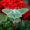 """ The Colorful and Rare Luna Moth ""   Luna Moth is the largest moth in North America they have a wingspan of 4 to 5 inches. A Luna moth's wings have markings that look like eyes this helps to frighten away birds and other enemies.This moth color has an unusual, delicate, pale green color. Luna moths fly mostly at night. They can be seen flying around night lights. I found this lovely Luna Moth on these geraniums at first light."