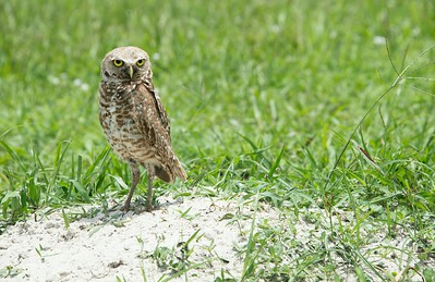 Burrowing Owl in Vista View Park Florida, Davie, Florida