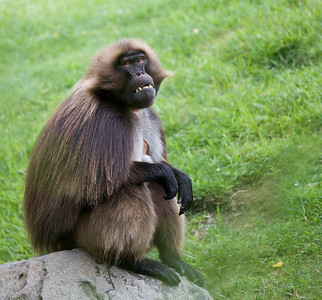 Ethiopian gelada baboon at the Bronx Zoo (July 2011)