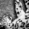 A Sleeping Snow Leopard