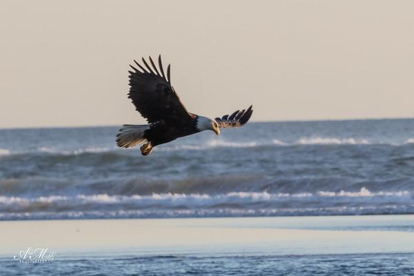 Bald Eagle cruising the coast.