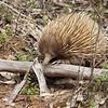 Echidna, Australia