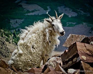 Colorado Mountain Goat....Elk Mountains, CO