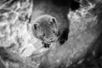 Portrait of a Mink