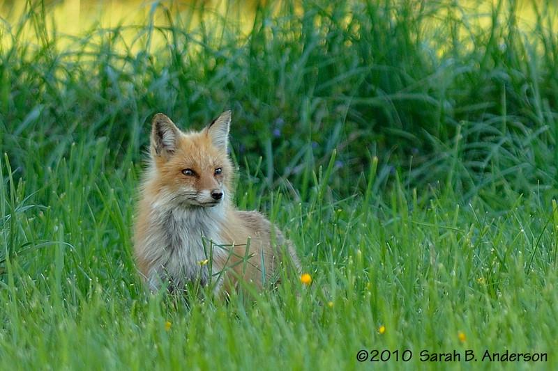Female red fox<br /> <br /> Fairfax County, Virginia<br /> April 2010