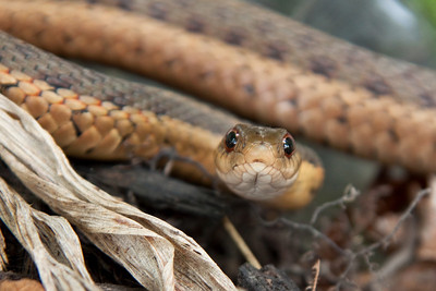"""""""Up Close and Personal""""  I believe this is a Butler's Gartersnake"""