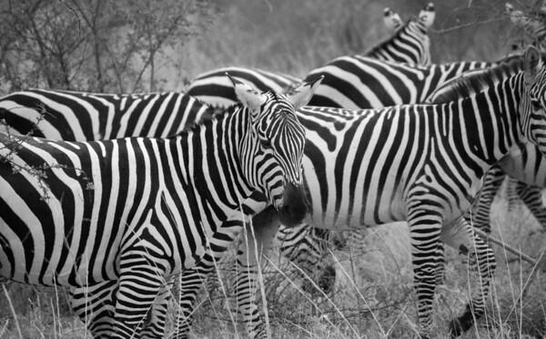 Zebras in Kenya, 2009