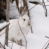 Close Encounter with a Snowshoe Hare 9