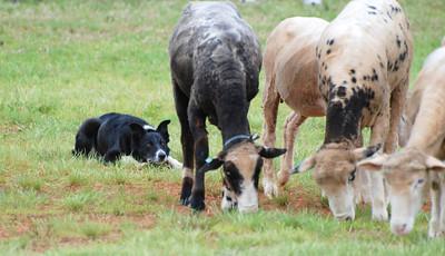 Sheep dog at Highland games