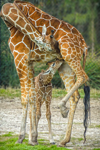 Baby giraffe and mother at the Jacksonville Zoo, FLA.