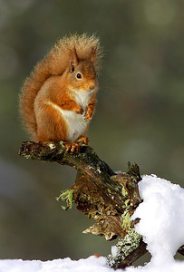 Red squirrel on snowy log