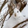 Snowshoe Portrait 3