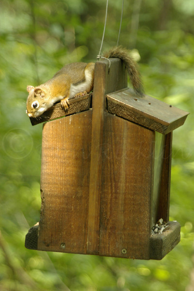 Red squirrel on feeder.