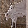 Mucche di razza Chianina, Asciano, Toscana