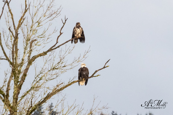 Juvenile and Bald Eagle drying their wings.