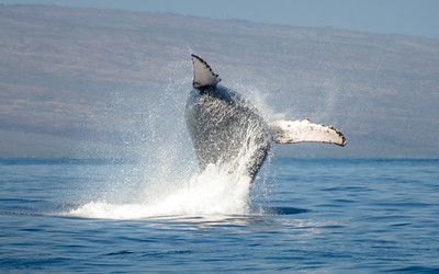 Capturing a breaching whale is not easy but it certainly is fun.