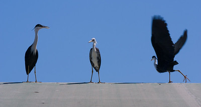 three herons