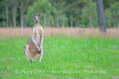 Male Eastern Grey Kangaroo, Tea Gardens, NSW