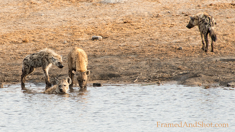 <em> <strong><center><b>Spotted and striped hyena enjoying the water on a hot day.