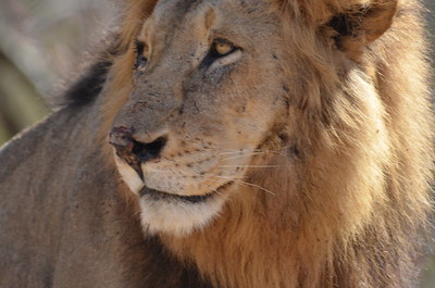 Male Lion - Near Skukuza - Kruger National Park South Africa ……………….[ Copyright © - Photo by Barry Jucha ]