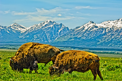Two bison grazing surrounded by snow-capped mountains in Grand Teton National Park.