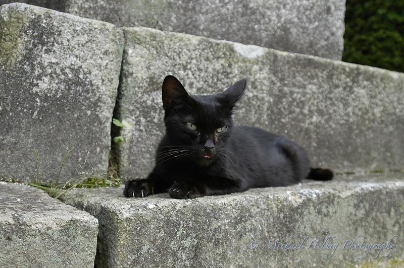 Kintaikyo Cat