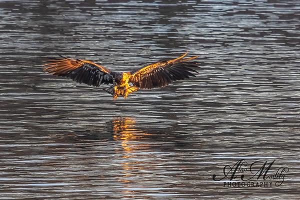 Juvenile Bald Eagle on the hunt