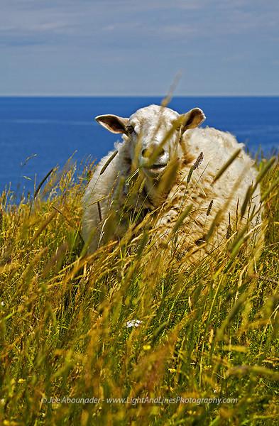 Menacing Lamb - Gros Morne National Park, Newfounland, Canada.  Summer 2009.