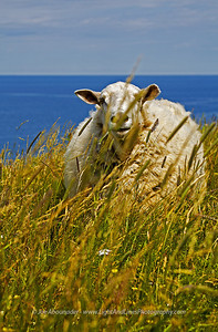Menacing Lamb - Gros Morne National Park, Newfounland, Canada.  Summer 2009.