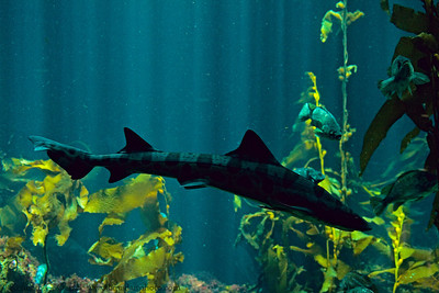 Leopard Shark in the Kelp Forest tank at the Monterey Bay Aquarium