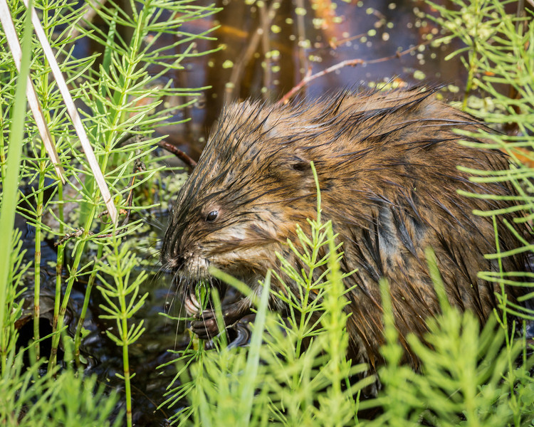 Muskrat getting an afternoon snack.