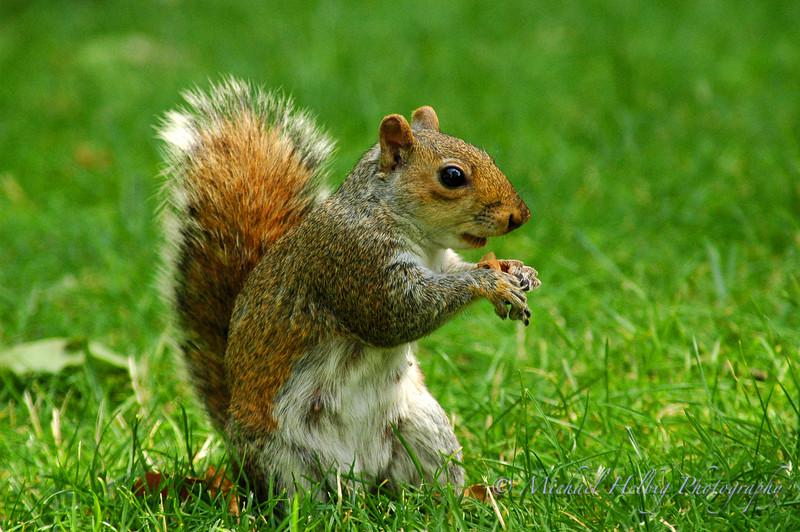 Squirrel - London